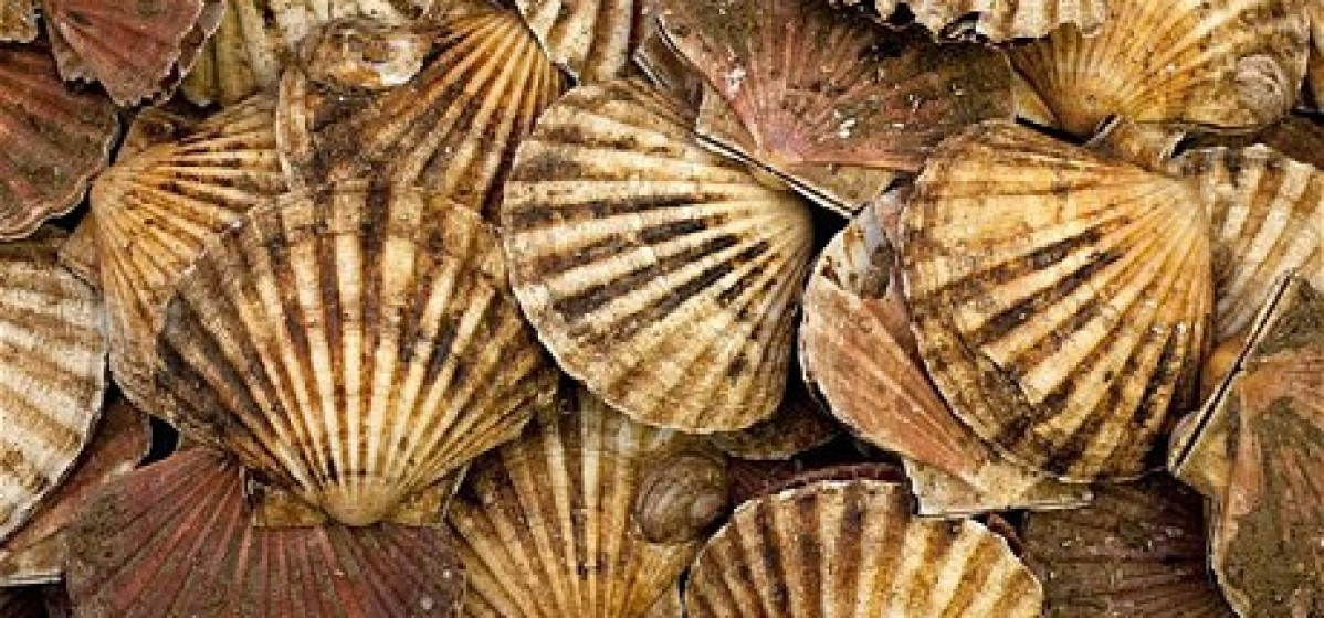 Rye Bay Scallop catch…