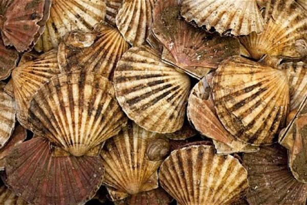 Tis' the season for Scallops