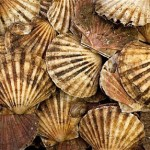 Rye Bay Scallop catch…